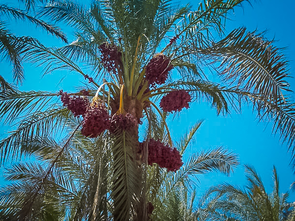 204.A date tree in Luxor