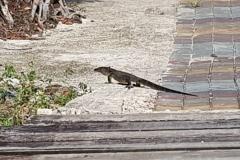 Big Lizard!